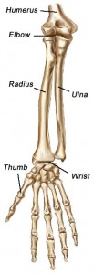 The bones of the forearm.