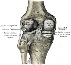 Fibular collateral ligament